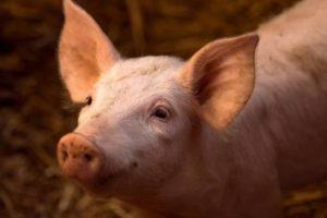 Investigadores de la Universidad de Tokio están considerando el cultivo de páncreas humanos en cerdos mediante el uso de células iPS, dijo recientemente un profesor que dirige el proyecto.